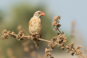 Red-billed Quelea (Quelea quelea) changing plumage