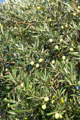Olives on a tree