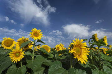 Blooming sunflowers under amazing cloudy blue sky