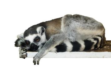 Lemur isolated on white background