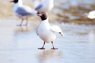 Black-headed Gull on the ice, wildlife