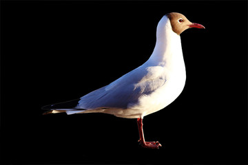 Seagull isolated on a black background