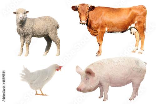 Papiers peints Poules livestock;