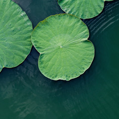 Green lotus leaf in the lake.