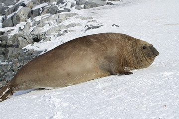 adult male southern elephant seal which lies in the snow Antarct