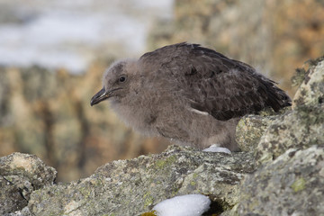 downy chick South Polar Skua among the rocks of the Antarctic Is