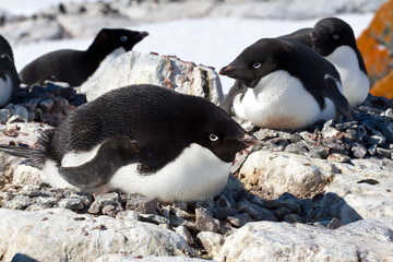 female Adelie penguin sitting on the eggs in the colony