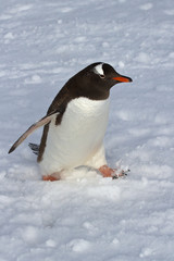 Gentoo penguin walking on snow overcast day