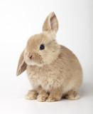 Fototapety Baby of orange rabbit on white background