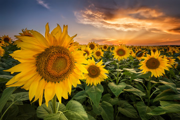 Beautiful sunset over a sunflower field