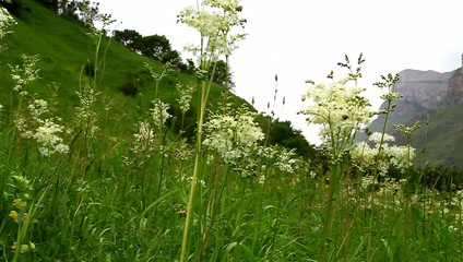 Scenic green meadow with blooming  medicinal Filipendulae