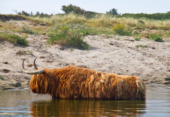 Highland cow cooling off in a lake in summer