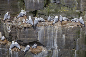 kittiwake parents and chicks; Cape St. Mary's, Newfoundland