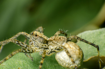 Native thai jumping spider sitting on  a leaf