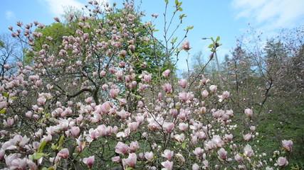 Magnolia tree blossom in the spring garden
