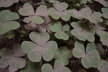 Redwood sorrel covered in dust, Muir Woods forest, California
