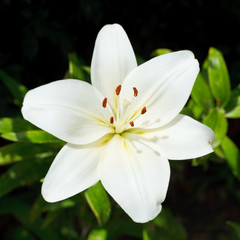 above view of white flower Lilium candidum