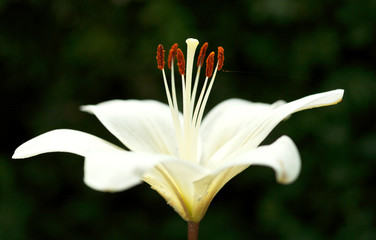 side view of white bloom Lilium candidum