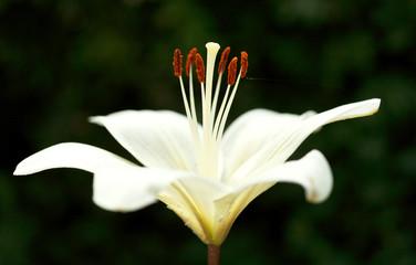 side view of white bloom Lilium candidum