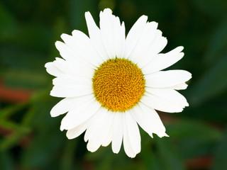 fresh Ox-eye daisy bloom close up