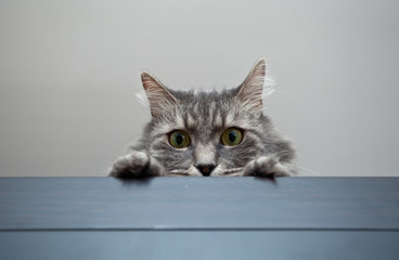 Grey siberian cat laying on cupboard and controling situation