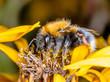 Obrazy na płótnie, fototapety, zdjęcia, fotoobrazy drukowane : Bumblebee