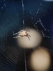 female European garden spider on spiderweb