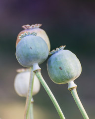 Opium Close-up