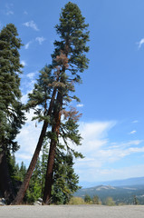 Tall pine tree in Sierra Nevada, California