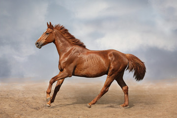 Beautiful wild brown horse galloping on sky