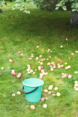 picking apple harvest in bucket in fruit orchard