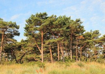 Forest of pine trees and wild leymus weed