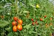canvas print picture - Tomatenpflanzen im Gewächshaus