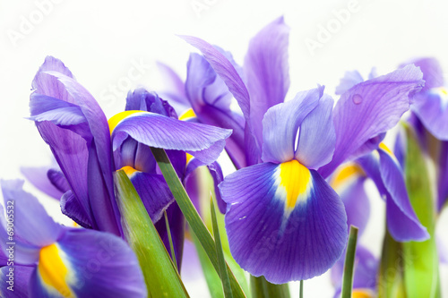 Foto op Canvas Iris violet yellow iris blueflag flower on white backgroung