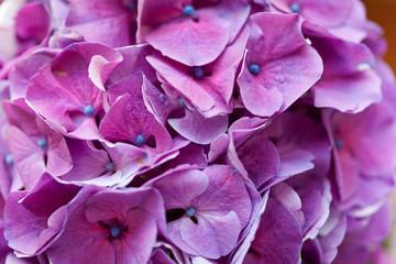 violet pink hydrangea flowers