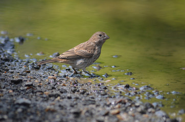 female finch drinking from a puddle at John Heinz
