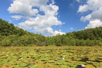 Seenlandschaft mit Seerosen vor Wald und blauem Himmel
