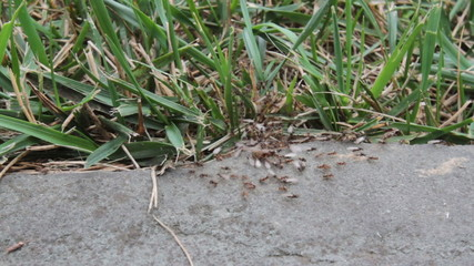 Swarming Winged Ants with Queen