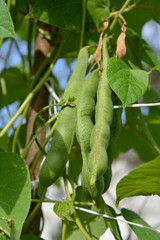 Green beans of haricot ordinary