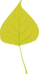 Green Leaf of black poplar