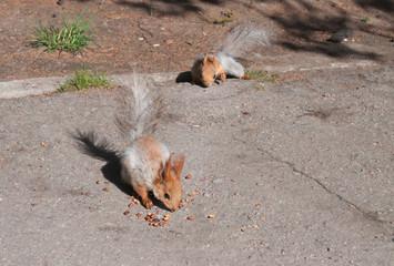 Squirrels eat nuts