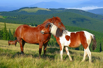 . Horses on a summer mountain pasture