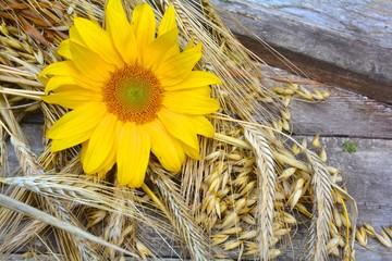 Sonnenblume und Getreide