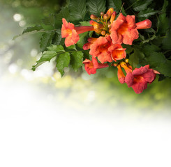 Campsis radicans flowers isolated on white background