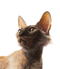 red bald cat Sphinx