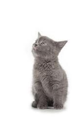 british blue shothair kitten