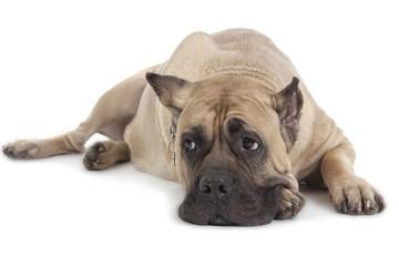 Cane Corso dog on white background
