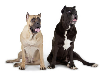 Cane Corso dogs on white background