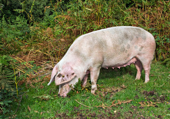 Pig in the New Forest Woodland