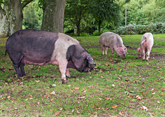 Pigs in the New Forest Woodland